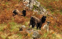 Cabras salvajes, Escocia (hircus del aegagrus del Capra) Imagenes de archivo