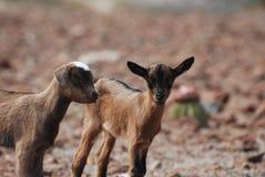 Cabras salvajes juguetonas dulces del niño en Aruba Foto de archivo