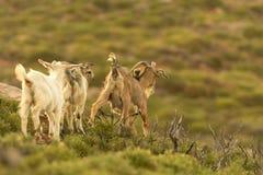 Cabras salvajes que corren hacia fuera en la naturaleza imagen de archivo