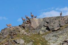 Cabras salvajes que se colocan en la cresta de la montaña Imágenes de archivo libres de regalías
