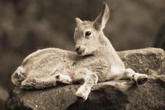 Cabras selvagens Fotos de Stock Royalty Free