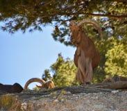 Cabras selvagens Fotografia de Stock Royalty Free