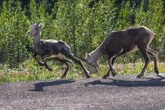 Cabras selvagens em uma estrada Fotos de Stock Royalty Free