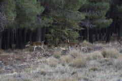 Cabras selvagens entre os pinhos que olham para pastar a grama fresca foto de stock royalty free