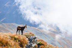 Cabras selvagens nas montanhas Foto de Stock