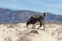 Cabras selvagens no deserto omanense Fotografia de Stock