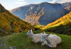 Cabras sobre el fiordo Fotografía de archivo