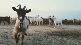 Cabras y ovejas en Corbeanca imágenes de archivo libres de regalías