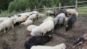 Cabras y ovejas en corral almacen de metraje de vídeo