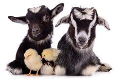 Cabras y pollos Fotos de archivo libres de regalías