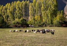 Cabras y vacas Imágenes de archivo libres de regalías
