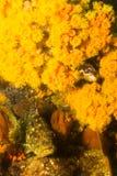 Cabrilla βράχου Στοκ Φωτογραφίες