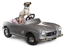 cabriolet för 14 chihuahua som kör gammala månader Royaltyfria Foton
