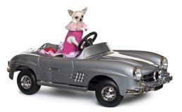 cabriolet för 18 chihuahua som kör gammala månader Fotografering för Bildbyråer