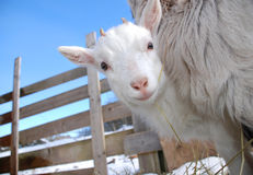 Cabrito curioso de la cabra Fotografía de archivo