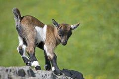Cabrito de la cabra foto de archivo