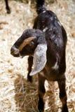 Cabrito de la cabra de Nubian del bebé Foto de archivo