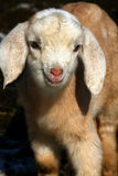 Cabritos 09 de la cabra Foto de archivo