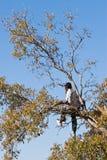 Cabritos en árboles Imagen de archivo