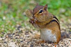 Cacahuete de Earing del Chipmunk Fotografía de archivo libre de regalías