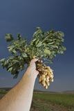Cacahuetes en mano del granjero Foto de archivo libre de regalías