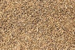 Cacahuetes que se secan en Sun Imagen de archivo
