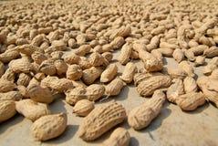 Cacahuetes secados al sol Fotografía de archivo libre de regalías