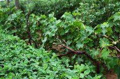 Cacahuetes y uvas Fotos de archivo