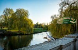 CaCAMBRIDGE ENGLAND; 25 NOVEMBER 2016 Flodkam och tecken: Cambridge chaufförstakbåtar turnerar Arkivbild