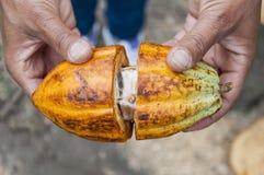 Cacao żniwo zdjęcie stock