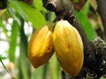 Cacao Image stock