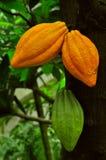Cacao Foto de archivo libre de regalías