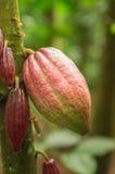 cacao Stock Afbeeldingen