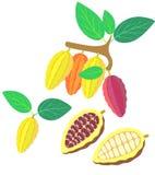 cacao Immagini Stock Libere da Diritti