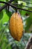 cacao Стоковая Фотография RF