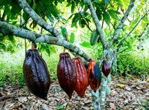 cacao Fotografia Stock