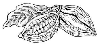 Cacao beans. Monochrome hand-drawn style illustration Stock Photography