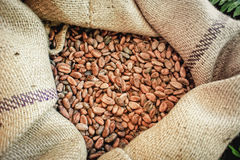 Cacao Beans in a Bag. Close up of a jute bag full with cacao beans Royalty Free Stock Photos