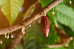 Cacao branch with young fruit. And blooming cocoa flowers Royalty Free Stock Images