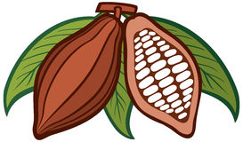 Cacao - cocoa beans. Fruit of cocoa, section of the fruit of cocoa Royalty Free Stock Images