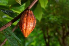 Cacao crop on tree. In natural blurred green background Stock Images