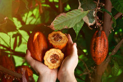 Cacao crops in hands Royalty Free Stock Image
