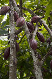 Cacao d'arbre Photo libre de droits