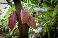 Cacao drzewa Theobroma cacao Organicznie kakaowi owoc strąki w naturze obrazy stock