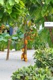 Cacao Drzewo Obrazy Stock