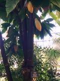 Cacao drzewo Zdjęcie Stock