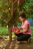 Cacao drzewo w gospodarstwie rolnym zdjęcia royalty free