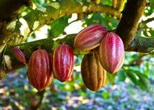 Cacao fresco Imágenes de archivo libres de regalías