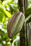 Cacao fruit. On the tree Stock Photos