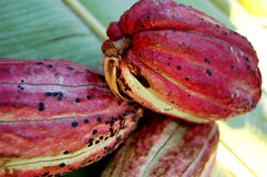 Cacao fruit. Some cacao fruit from Zanzibar, Tanzania, Africa Stock Photo